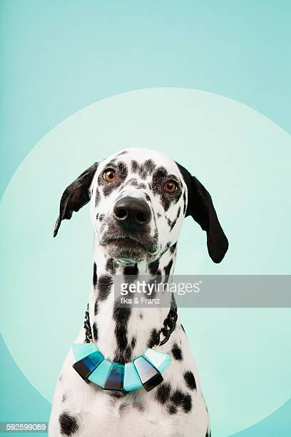 Portrait of Dalmatian Dog with Necklace