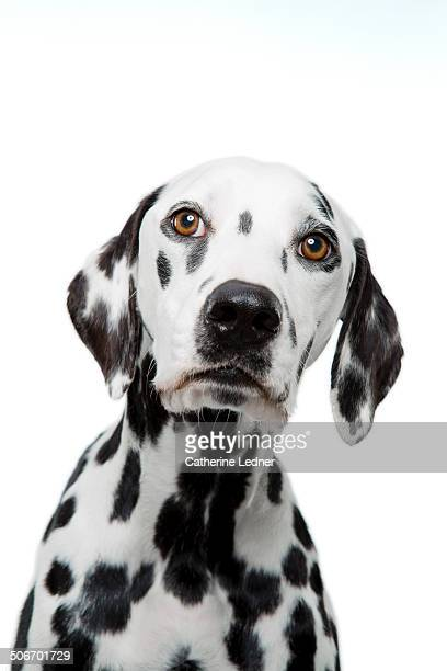 Portrait of Dalmatian