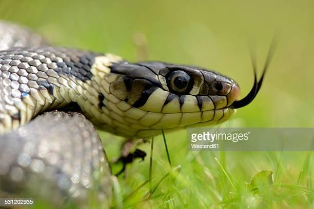 portrait of darting grass snake, natrix natrix - ヨーロッパヤマカガシ ストックフォトと画像
