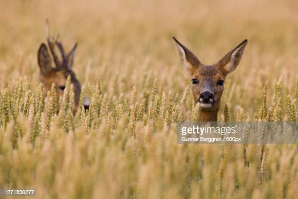 portrait of deer amidst plants on field, lddekpinge, sweden - biche photos et images de collection