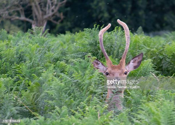 portrait of deer eating leaves - deer stock pictures, royalty-free photos & images