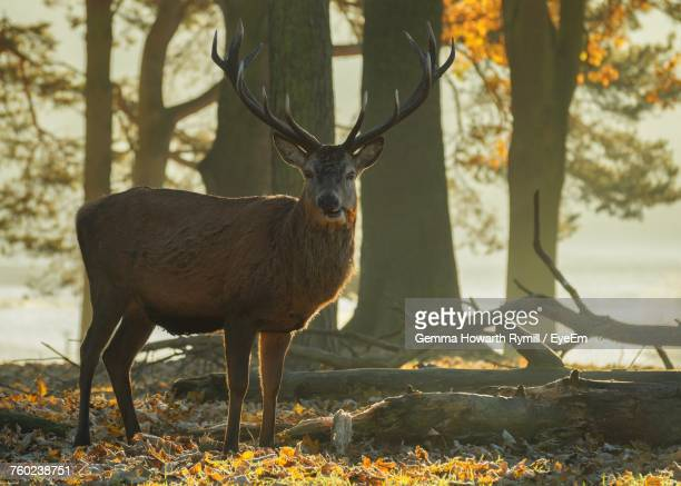 Portrait Of Deer On Field During Autumn