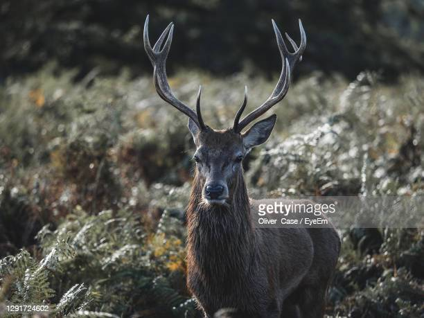 portrait of deer on field - antler stock pictures, royalty-free photos & images