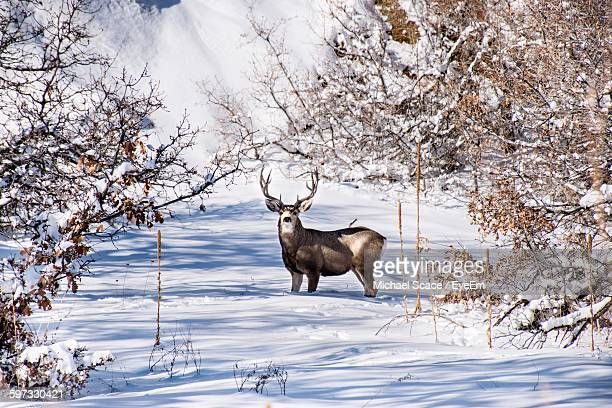 Portrait Of Deer On Snow Covered Field During Winter