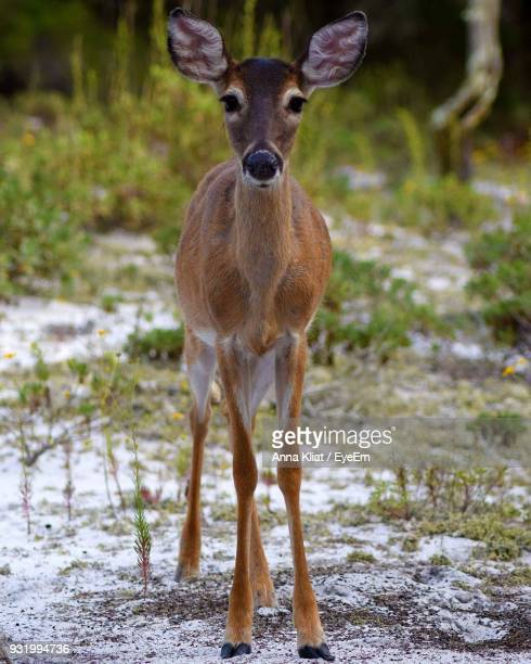 portrait of deer on snow covered field - fawn stock photos and pictures