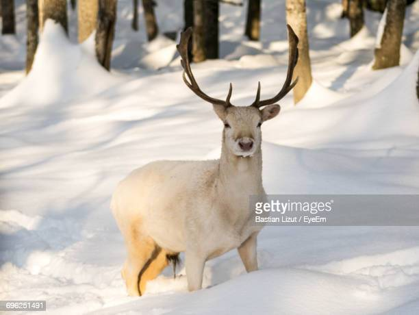 portrait of deer on snow field - reindeer stock photos and pictures