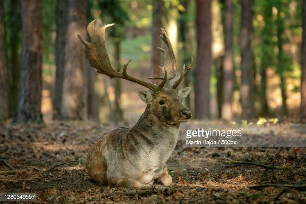 portrait of deer sitting in forest,brno,czech republic - czech republic stock pictures, royalty-free photos & images