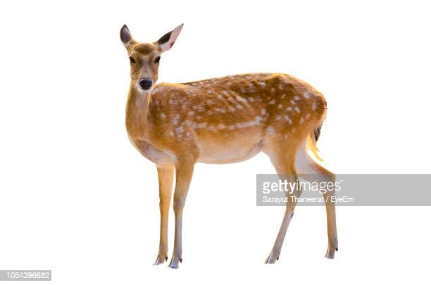 portrait of deer standing against white background - deer stock pictures, royalty-free photos & images