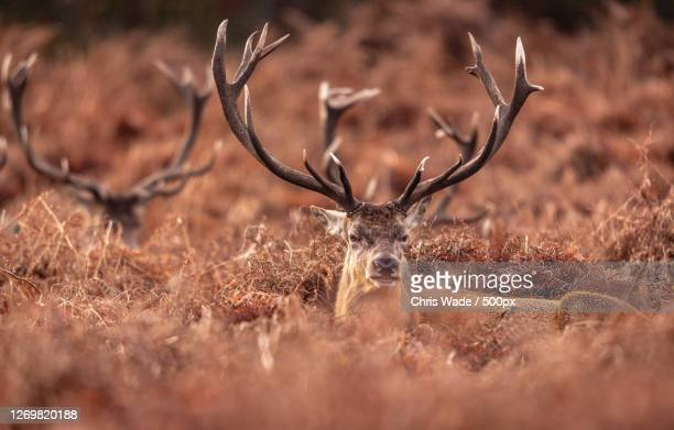 portrait of deer standing amidst plants on field, richmond, united kingdom - animal body part stock pictures, royalty-free photos & images