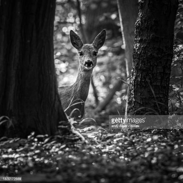 portrait of deer standing in forest - andy dauer stock pictures, royalty-free photos & images