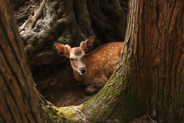 Portrait of deer standing in forest,Nara Park,Nara,Japan