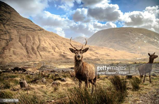 portrait of deer standing on field against cloudy sky,glencoe,ballachulish ph,united kingdom,uk - red deer animal stock pictures, royalty-free photos & images