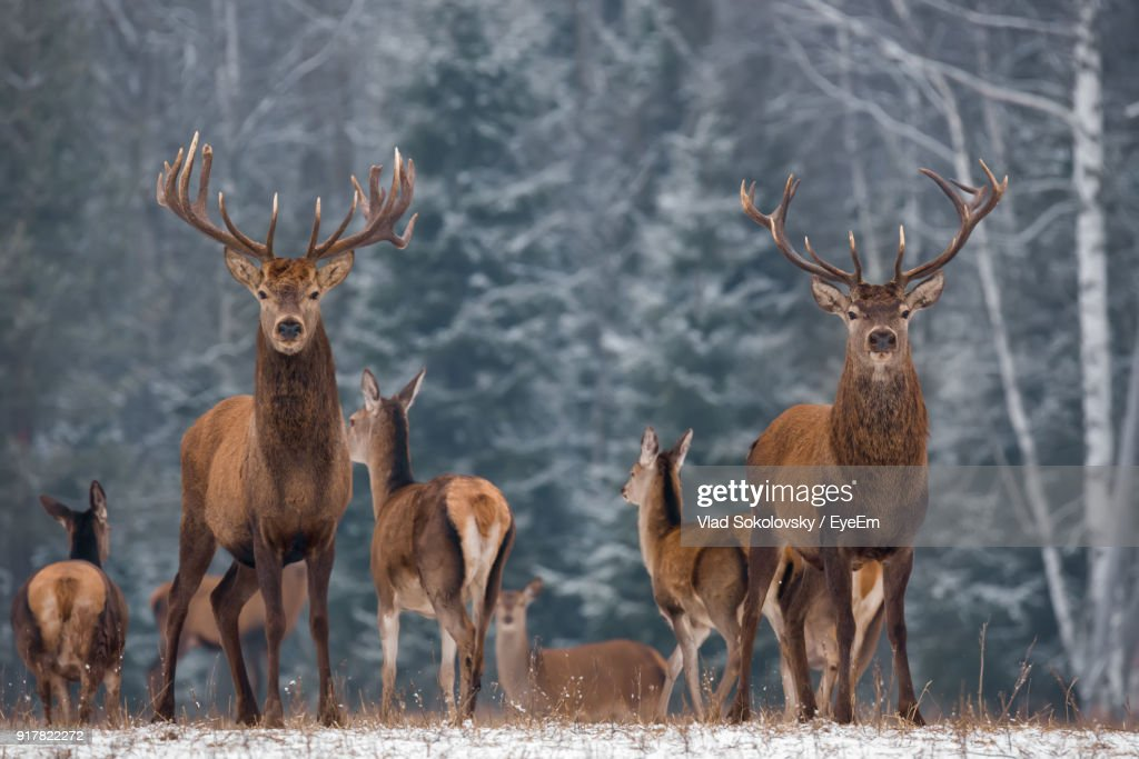 Portrait Of Deer Standing On Field During Winter : Stock Photo