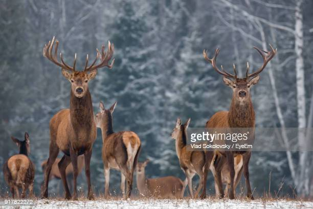 portrait of deer standing on field during winter - rentier stock-fotos und bilder