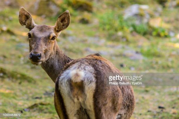 portrait of deer standing on field - herbivorous stock pictures, royalty-free photos & images