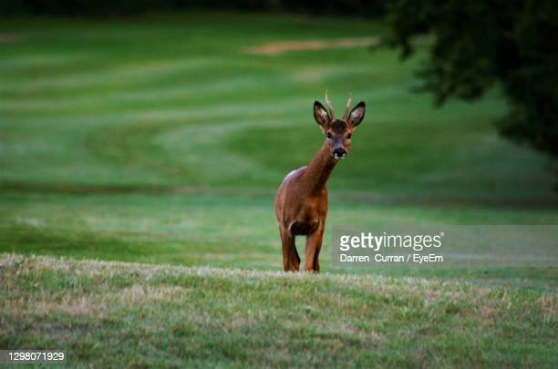 portrait of deer standing on field - curran stock pictures, royalty-free photos & images