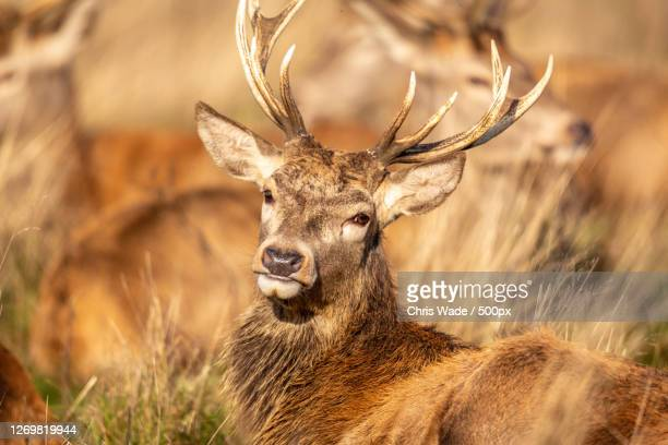 portrait of deer standing on field, richmond, united kingdom - antler stock pictures, royalty-free photos & images
