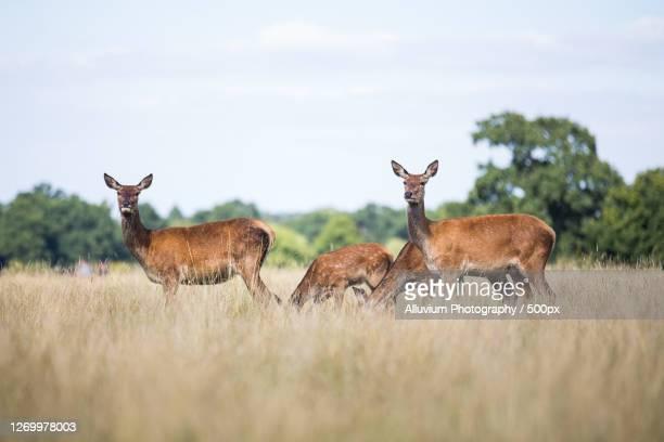 portrait of deer standing on field, richmond, united kingdom - erbivoro foto e immagini stock