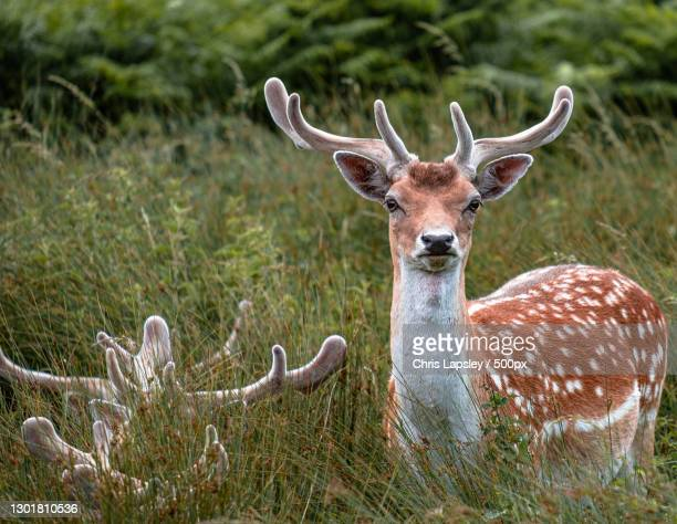 portrait of deer standing on field,bradgate park,united kingdom,uk - red deer animal stock pictures, royalty-free photos & images