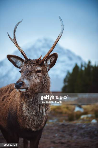 portrait of deer standing on mountain against sky,glencoe,ballachulish ph,united kingdom,uk - deer stock pictures, royalty-free photos & images