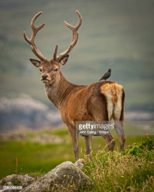portrait of deer standing on rock, united kingdom - red deer animal stock pictures, royalty-free photos & images
