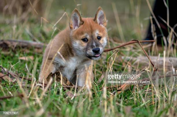 Portrait Of Dingo Puppy
