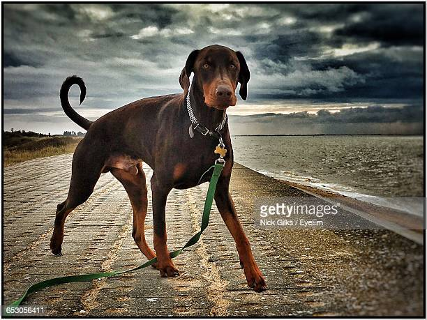 Portrait Of Doberman Pinscher On Road By River
