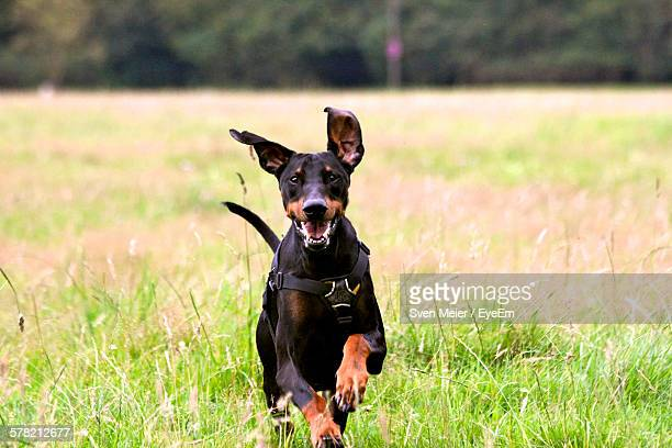 portrait of doberman pinscher running on grassy field - doberman foto e immagini stock