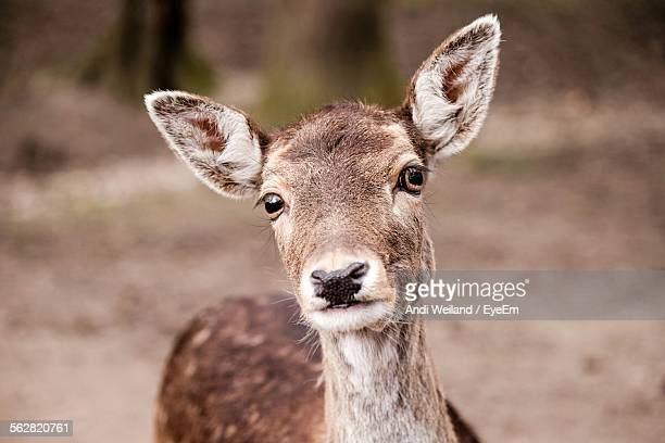 portrait of doe - biche photos et images de collection