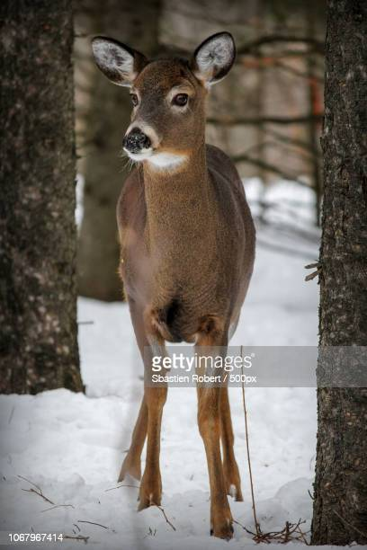 portrait of doe standing in snow-covered forest - femmina di daino foto e immagini stock