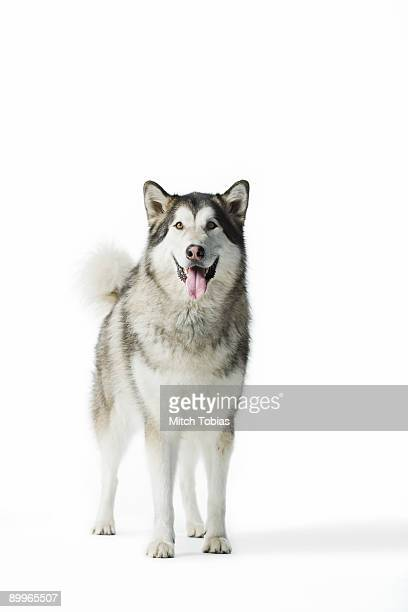 portrait of dog (alaskan malamute) against white b - malamute stock pictures, royalty-free photos & images