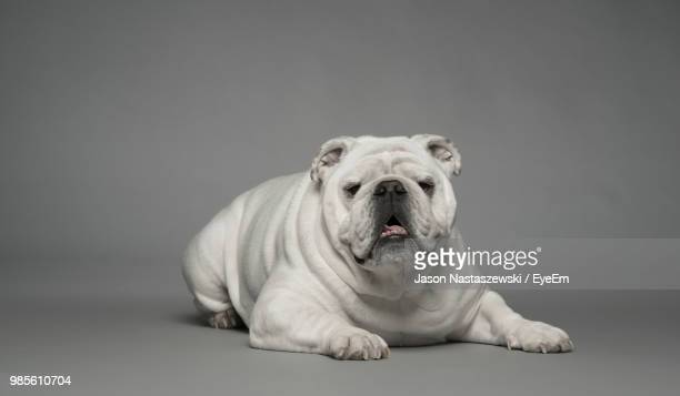 portrait of dog against white background - english bulldog stock pictures, royalty-free photos & images