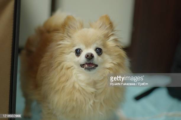 portrait of dog at home - japanese spitz stock pictures, royalty-free photos & images