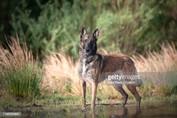 portrait of dog at lakeshore - berger belge malinois photos et images de collection