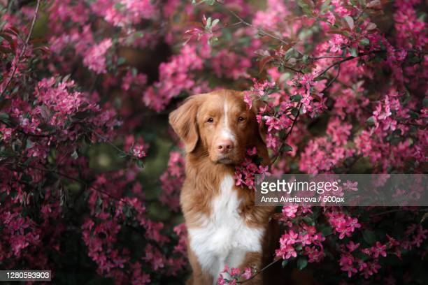 portrait of dog by pink flowers - nova scotia duck tolling retriever stock pictures, royalty-free photos & images