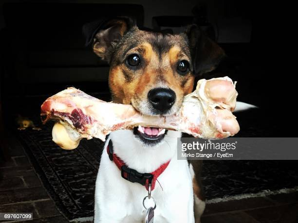 Portrait Of Dog Carrying Bone At Home