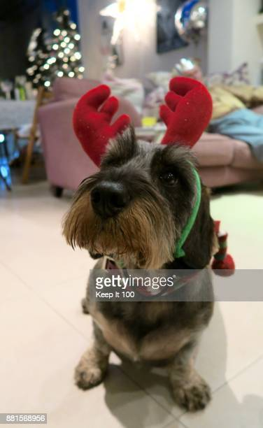portrait of dog dressed as a reindeer for christmas celebrations - dachshund christmas stock pictures, royalty-free photos & images