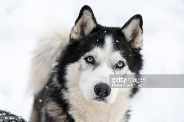 portrait of dog during winter - husky dog stock pictures, royalty-free photos & images