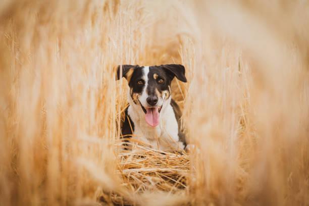 Portrait of dog in agricultural field,Las Cejas,Santiago del Estero Province,Argentina