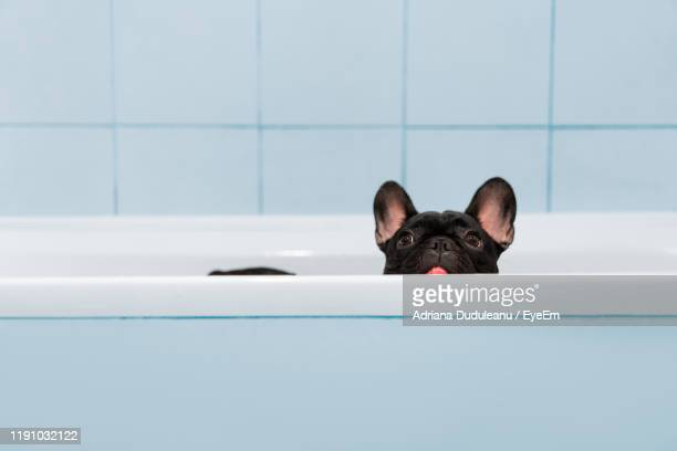 portrait of dog in bathtub - animal stock pictures, royalty-free photos & images