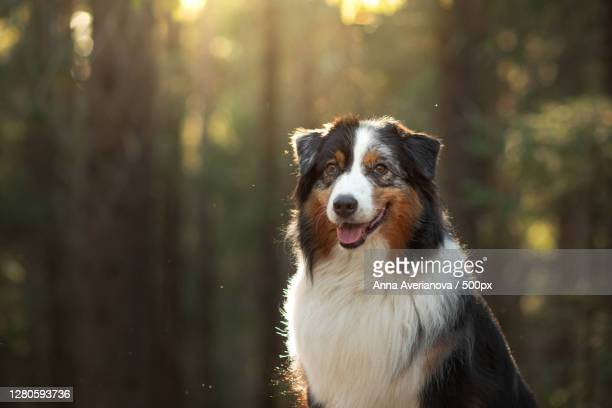 portrait of dog in forest - australian shepherd dogs stock pictures, royalty-free photos & images