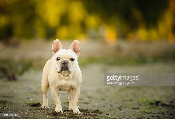portrait of dog in park - french bulldog stock pictures, royalty-free photos & images