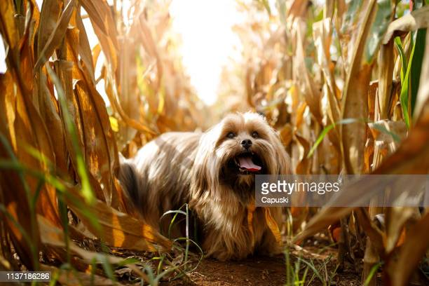 portrait of dog in the cornfield - lhasa apso stock photos and pictures