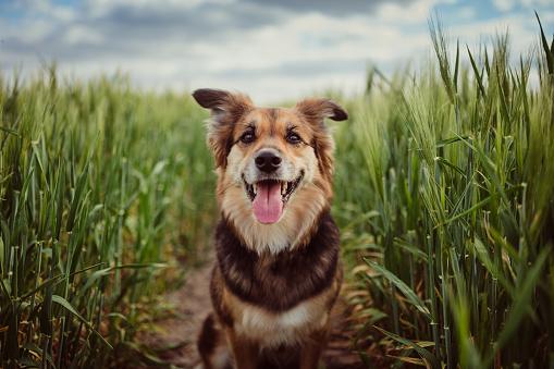 Portrait of dog in the cornfield 1149548556