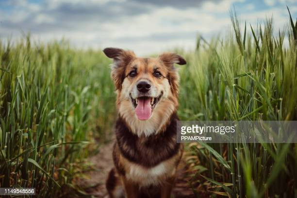 portrait of dog in the cornfield - grass picture stock pictures, royalty-free photos & images