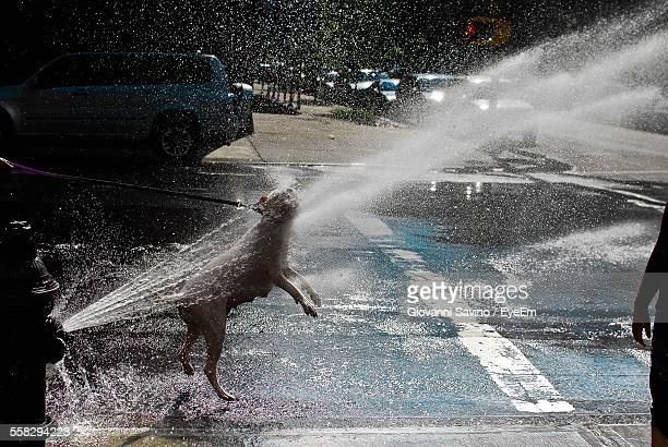 Portrait Of Dog Jumping In Spray Of Water