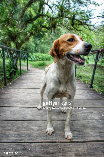 portrait of dog looking away on footpath - japonês stock pictures, royalty-free photos & images