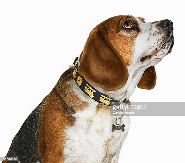 portrait of dog looking up - gandee stock pictures, royalty-free photos & images