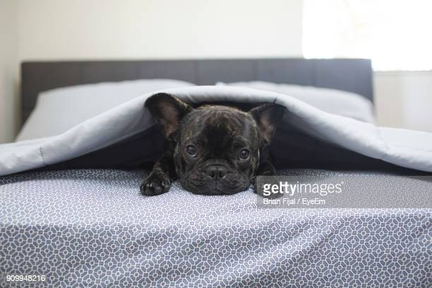portrait of dog lying on bed at home - french bulldog stock pictures, royalty-free photos & images