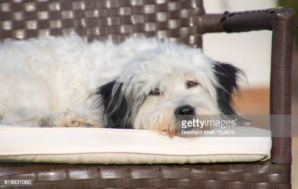 Portrait Of Dog Lying On Chair